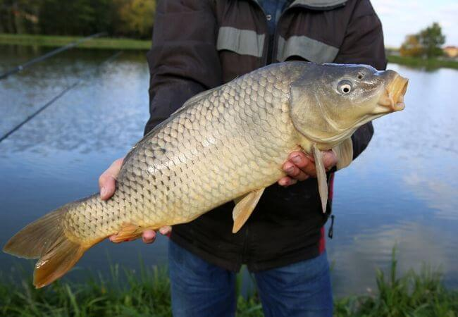 Carp Fishing for Beginners Guide